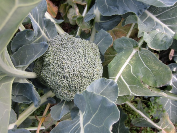 late fall broccoli