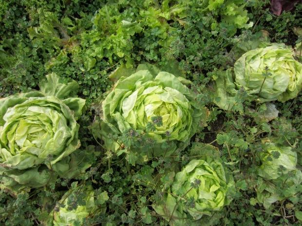 winter butterhead lettuce