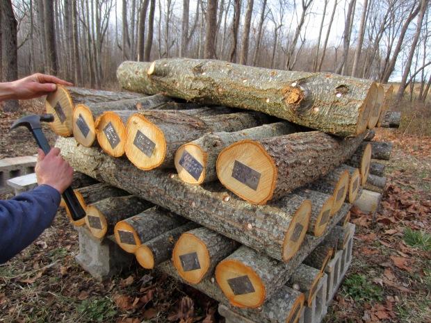 inoculated logs