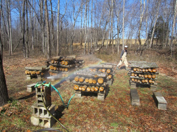 shiitake production