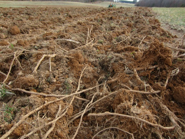 sumac roots