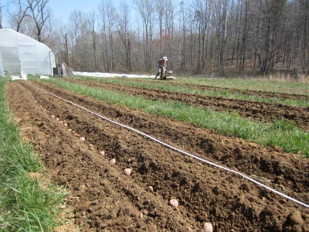 spud planting