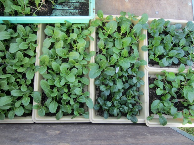 trays of Asian greens ready for planting