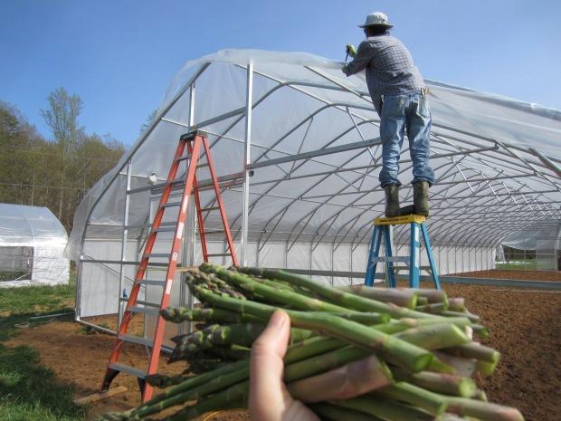asparagus harvest too