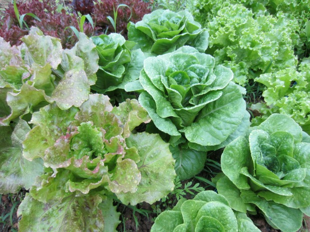 amazing lettuces
