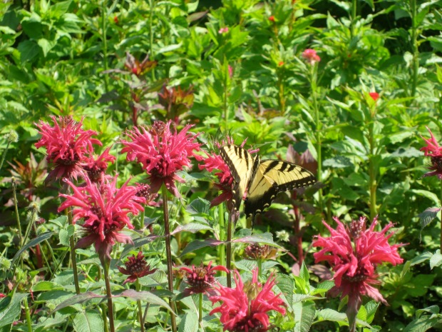 butterfly on the monarda