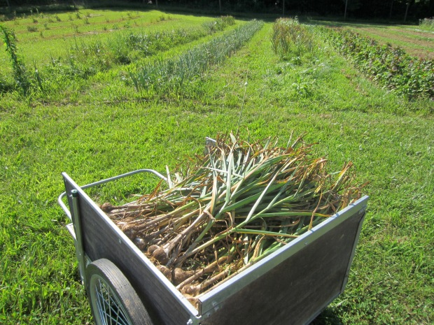garlic harvesting