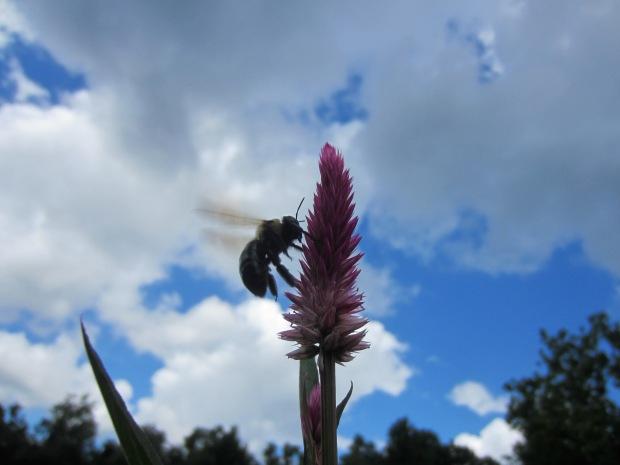 pollenating