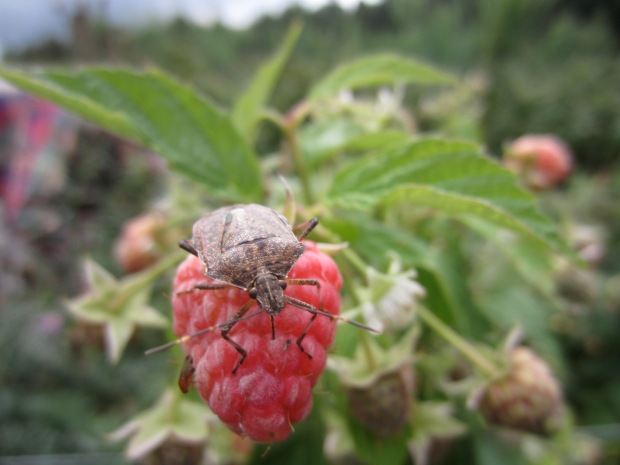 stink bug on raspberry