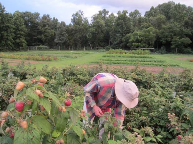 harvesting more raspberries