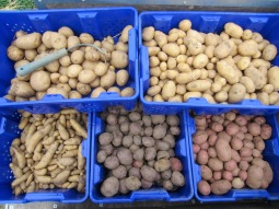 all kinds of potatoes