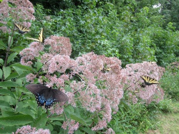 butterflies on the joe pye weed