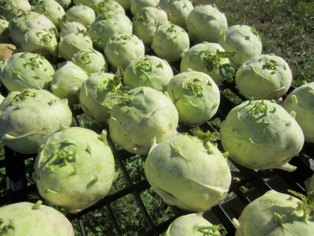 sea of kohlrabi