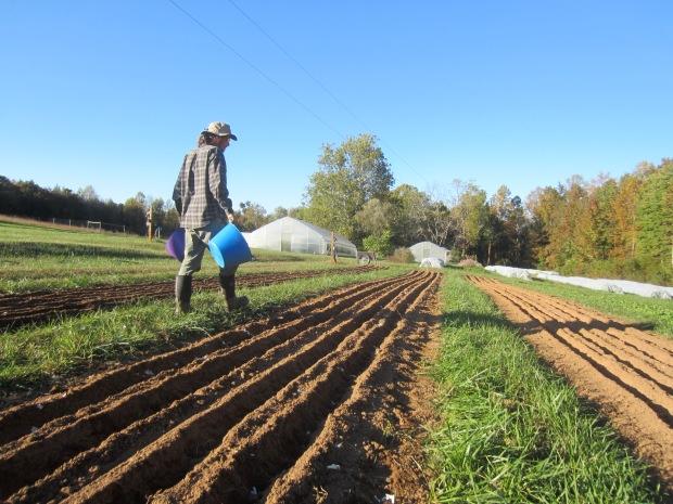 more garlic planting