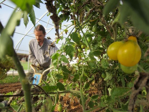 late season tomatoes