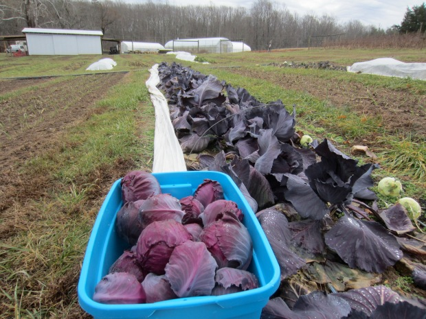 red cabbage; the last-standing outdoor crop