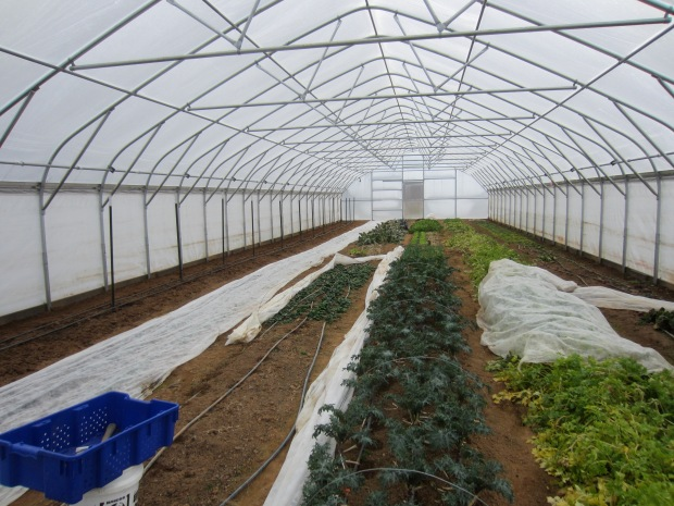 kale, celery, and spinach hanging on in the big tunnel