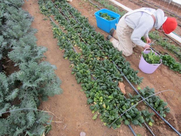 harvesting for market