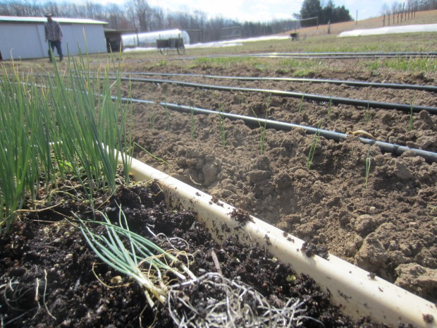 planting onion wisps