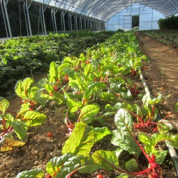 swiss chard in the tunnel